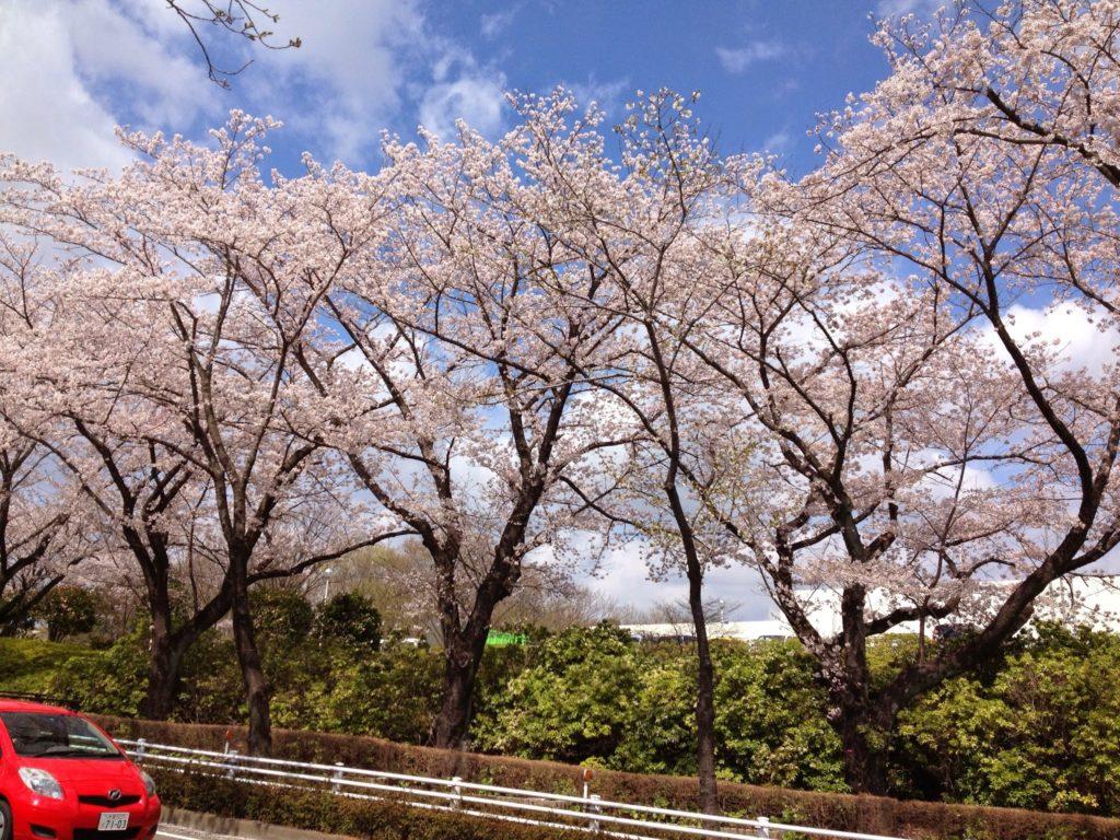 尾根緑道の桜並木